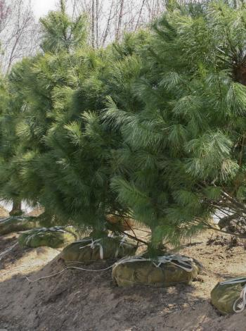 Tree transplant with burlap wraps